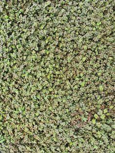 Groenblijvende bodembedekkers bestellen. Bodembedekkende vaste plant Acaena…