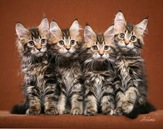 Maine Coon Cats | Cute Cats