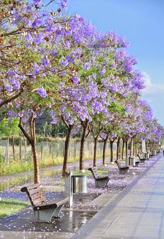 Jacarandas in Puerto Madero - Spring in Buenos Aires, Argentina Check out the website to see Beautiful World, Beautiful Places, Beautiful Pictures, Beautiful Boys, Argentine Buenos Aires, Places To See, Places To Travel, Travel Destinations, Places Around The World