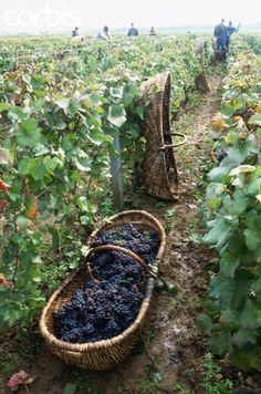 A basket of grapes lays in a vineyard row .. Burgundy, France
