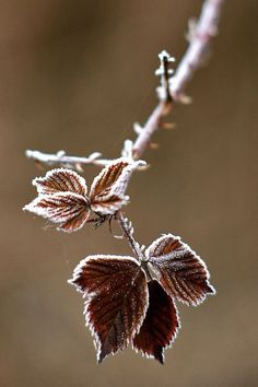 More beautiful, frozen, and frosty tipped leaves, idk why but there's just something about this photo that i just love.and proves that winter has romantic charm and beauty Foto Macro, Snow And Ice, Winter Beauty, Winter Is Coming, Winter Scenes, Jack Frost, Winter Snow, Beautiful World, Autumn Leaves