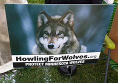Vote Wolf! Show your support for wolf protection in your front yard! We will deliver in Twin Cities for $20, you can order by mail for $25. www.howlingforwolves.com/donate
