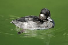 Bufflehead Duck, female, in wtaer, full side view. Duck Species, Shorebirds, Duck Dynasty, Beautiful Birds, Ducks, Art Images, Nature, Wood Carvings, Side View