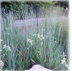 Rattlesnake Master and switch grass