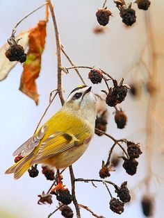 Golden-crowned Kinglet by tony y. h. tong, via Flickr