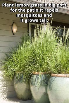 Plant lemon grass in big pots for the patio. It repels mosquitoes and it grows tall. Plant lemon grass in big pots for the patio. It repels mosquitoes and it grows tall. Diy Garden, Dream Garden, Lawn And Garden, Home And Garden, Garden Grass, Balcony Garden, Garden Troughs, Garden Beds, Garden Ideas Diy