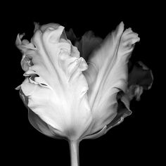 Black Tulips, Black And White Flowers, Black N White, Black And White Pictures, Spring Photography, Nature Photography, White Flower Photos, Still Life Flowers, White Plants