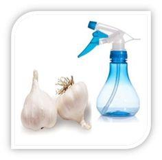 How to Make Garlic Garden Spray #stepbystep
