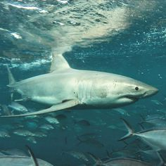 calypsostarcharters Guest got this photo during his dive, thanks for sharing it with us. You do not need to be a professional photographer to get yourself memories! Deadly Creatures, Sea Creatures, All Types Of Sharks, Amazing Photos, Cool Photos, Cat Shark, Cool Sharks, The Blue Planet, Great White Shark