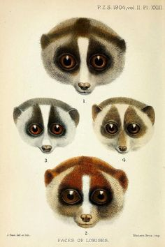 Faces of Lorises  1. Nycticebus tardigradus malayanus (Nycticebus coucang spp.- Sunda slow loris. Note: possibly Nycticebus javanicus - the Javan slow loris)2. Nycticebus tardigradus hilleri (Nycticebus coucang coucang - the Sunda slow loris, type species)3. Loris gracilis typicus (Loris lydekkerianus lydekkerianus - Gray slender loris)4. Loris gracilis zeylanicus (Loris tardigradus - Red slender loris)  All lorises are endangered or vulnerable due to the pet trade and their u