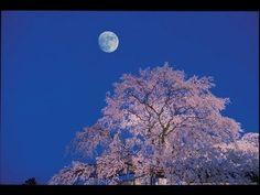 [HD]満開の京都の桜 (sakura) CHERRY BLOSSOM in KYOTO 日本の桜 花の名所案内