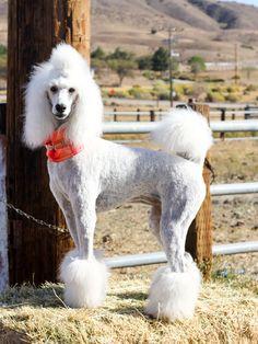 Lacey Lu. Standard Poodle