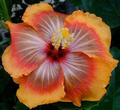 Tahitian Orange Rainbow