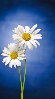 Beautiful Wallpaper For Phone, Daisy Wallpaper, Blue Wallpaper Iphone, Sunflower Wallpaper, Bear Wallpaper, Pretty Backgrounds, Flower Backgrounds, Wallpaper Backgrounds, Flowers Nature