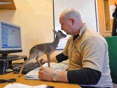 BU 8 santim uzun bebek antilop tarafından terk edilmiş ve annesi şu an chester hayvanat bahçesi. Adı Bebek Neo. Sevimli değil mi?