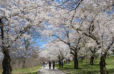 The cherry blossoms in High Park in Toronto