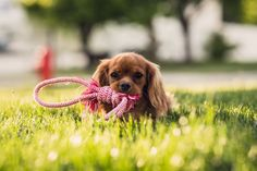 Want to know the Cavalier King Charles Spaniel Price? There are more costs to Cavalier King Charles Spaniel Ownership than just the upfront purchase price Cocker Spaniel, Puppy Care, Dog Care, National Puppy Day, Dog Barking, Cat Grooming, Dog Training Tips, Leash Training, Dog Leash