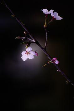 sakura by naoki nomura Flowers Nature, Exotic Flowers, Pretty Flowers, Flower Backgrounds, Flower Wallpaper, Wallpaper Backgrounds, Beautiful Flowers Wallpapers, Pretty Wallpapers, Flower Pictures