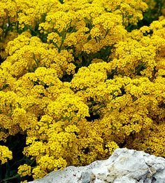 Top Drought-Tolerant Perennials for the Midwest