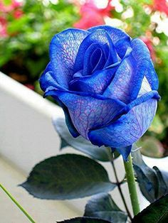 Blue roses are man made - blue roses do not exist in nature