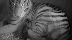 Tiger Cubs Being Born: Rare Footage | Watch the video - Yahoo Yahoo UK