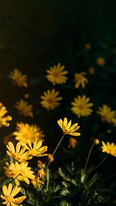 264d65f84 Fundo de tela flores amarelas. Para amantes de natureza e jardinagem!  Baseado nas dimensões de tela do iPhone 8 plus.