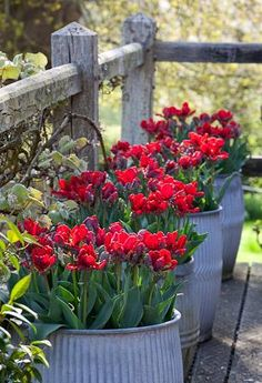 Tulips in galvanized bins ~ Perfect for the patio!