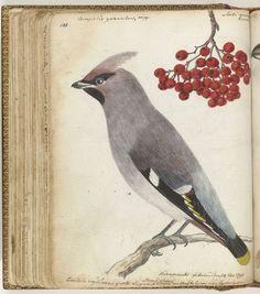 Zweedse vogel, Jan Brandes, 1795: