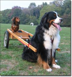 Bernese Mountain Dog:  transport for a little doxie. #dogs #pets #Dachshunds Facebook.com/sodoggonefunny