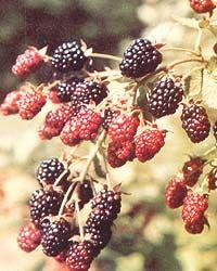 Growing Berries In Your Back Yard