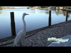 HolidayTripper.com - Resident Egret at the Myakka River Oyster Bar