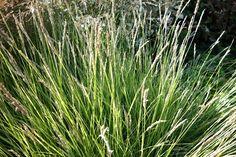 Sesleria nitida siergras, bloeit juli-aug met witte aar, word .30-.50 hoog, houd van kalkrijke grond, zandgrond, droogt/ normale vochtigheid en zon / halfzon