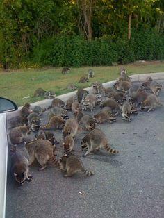 Dozens of Raccoons invade neighborhood eat Doritos. haha :)