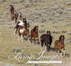 Wild Horses, mustangs, McCullough Peaks Herd Area, northern Wyoming, USA