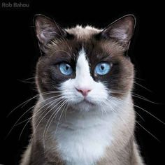 If I were to get a cat it would probably be a snowshoe cat.