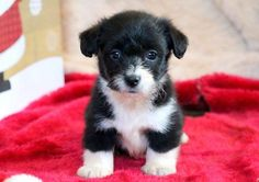 Miniature Dog Breeds, Miniature Puppies, Corgi Poodle Mix, Free Puppies For Adoption, Pembroke Welsh Corgi Puppies, Cavapoo Puppies, Teacup Puppies, Cute Puppies For Sale, Puppy Breeds