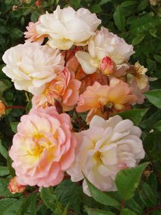 rambler 'Phyllis Bide' * (1923). Herbloeiend. Dubbele licht abrikoos gele bloemen met roze  schijn.  Decoratief als alleenstaande struik. H 180-200cm.