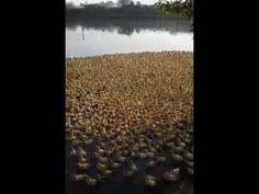 5,000 Duckling Rush to Pond for Their First Swim