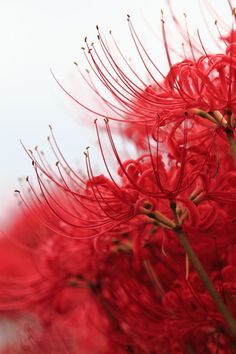 red spider lily (lycoris radiata) ... Yes !!! I love these flowers, they have been handed down in my family for a long time, and from state to state !!! <3