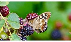 The intoxication of the speckled wood butterfly