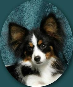 my papillon puppy. (: