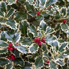Ilex aquifolium 'Argentea Marginata' (Variegated English Holly) - Australia