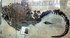 Sauropelta edwardsi, American Museum of Natural History. Dinosauria, Ornithischia, Thyreophora, Ankylosauria, Nodosauridae. Auteur : Ryan Somma, 1980.