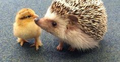 Just Pinned to Hedgehogs: Good friends come in all shapes and sizes! http://ift.tt/2sotAEP