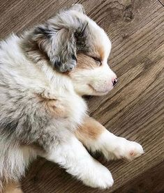 Really Cute Puppies, Cute Baby Dogs, Cute Little Puppies, Love Dogs, Cute Little Animals, Mini Aussie Puppy, Aussie Puppies, Cute Dogs And Puppies, Pet Dogs