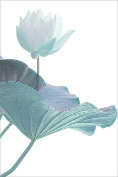 Lotus Flower Surreal Series: IMG_5465-1-1000 by Bahman Farzad, via Flickr