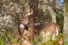 A Whitetail buck slips silently through the woods in Cades Cove, TN