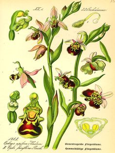 Ophrys abeille Ophrys apifera