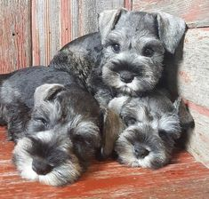 Ranked as one of the most popular dog breeds in the world, the Miniature Schnauzer is a cute little square faced furry coat. Miniature Schnauzer Puppies, Schnauzer Puppy, Schnauzers, Cute Puppies, Cute Dogs, Dogs And Puppies, Doggies, Popular Dog Breeds, Baby Dogs