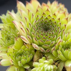 Sempervivum Kosaninii Lime green with darker tips. Has an unusual growth habit with chicks forming on long stolons. Mini Fairy Garden, Lush Garden, Garden Art, Garden Plants, Fairy Gardens, Mushroom Kits, Alpine Plants, Hens And Chicks, Indoor Planters